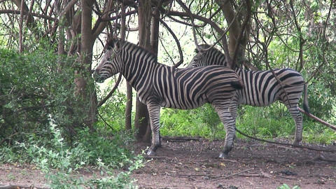 Malawi: zebra in a wild 6 Stock Video Footage