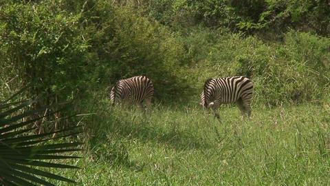 Malawi: zebra in a wild 8 Stock Video Footage