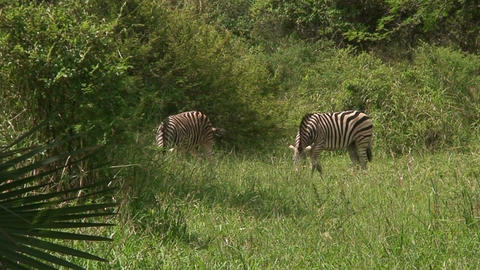 Malawi: zebra in a wild 8 Stock Video Footage