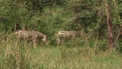 Malawi: zebra in a wild 10 Footage