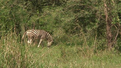 Malawi: zebra in a wild 10 Stock Video Footage