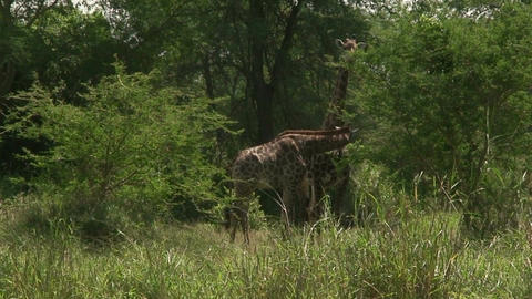 Malawi: giraffe in a wild 5 Stock Video Footage