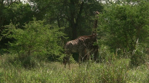 Malawi: giraffe in a wild 5 Footage
