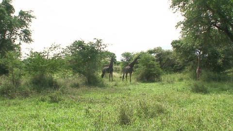 Malawi: giraffe in a wild 7 Footage