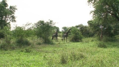 Malawi: giraffe in a wild 7 Stock Video Footage