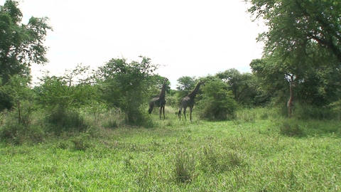 Malawi: giraffe in a wild 7 Stock Video Footage