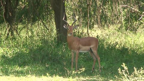 Malawi: impala in a wild 4 Stock Video Footage