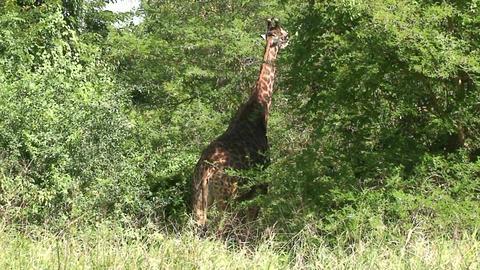 Malawi: giraffe in a wild 2a Stock Video Footage