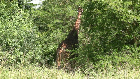 Malawi: giraffe in a wild 2a Stock Video Footage