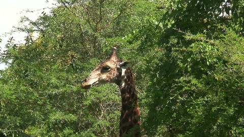 Malawi: giraffe in a wild 4a Stock Video Footage