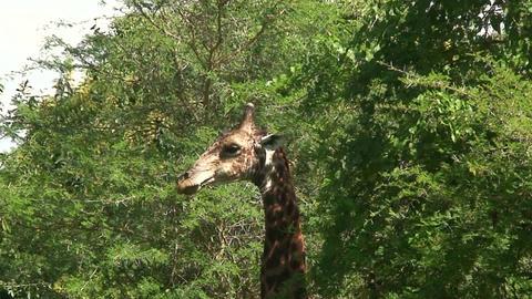 Malawi: giraffe in a wild 4a Footage