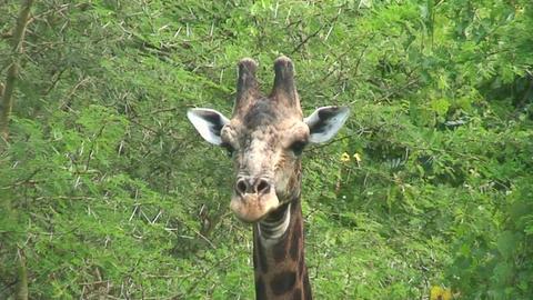 Malawi: giraffe in a wild 6a Footage