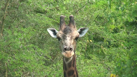 Malawi: giraffe in a wild 6a Stock Video Footage