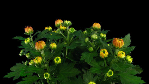 Time-lapse of chrysanthemum flower buds opening 2a with... Stock Video Footage