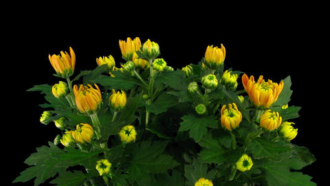 Time-lapse of chrysanthemum flower buds opening 2a with alpha matte Footage