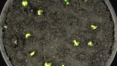 Time-lapse of growing cucumbers 5a, top view Stock Video Footage