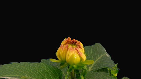 Time-lapse blooming pink yellow dahlia with alpha matte 1b Stock Video Footage