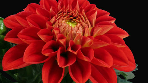 Time-lapse of blooming red dahlia with ALPHA matte front 5a Stock Video Footage