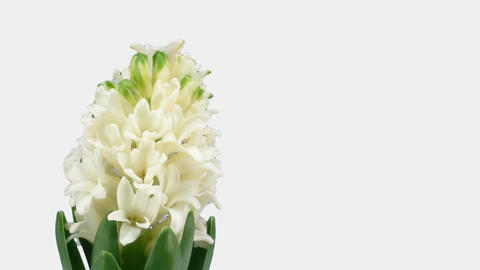 Time-lapse of growing white hyacinth Christmas flower 5a... Stock Video Footage