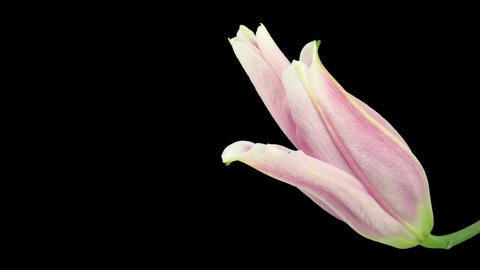 Time-lapse of opening pink lily 17a isolated on black Stock Video Footage