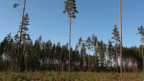 Tall pine Pinus Silvestris trees all over the area Footage