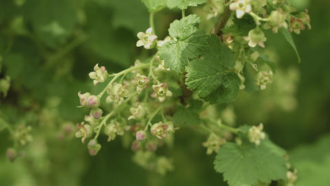 Blooming black currant. Flowers close up Footage