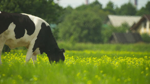 Rural Cow Grazed On A Meadow stock footage