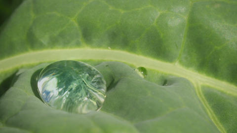 Drop of water on a cabbage leaf close up Footage