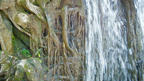 Water flows down on the roots of a tropical tree.  Footage