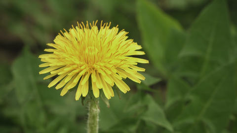 Flowering dandelion close up Footage