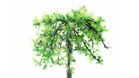 Time-lapse of growing bonsai arbuscula tree 2x3 (D Footage
