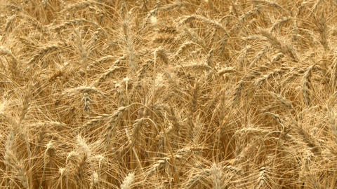 Ripe Wheat 01 Footage
