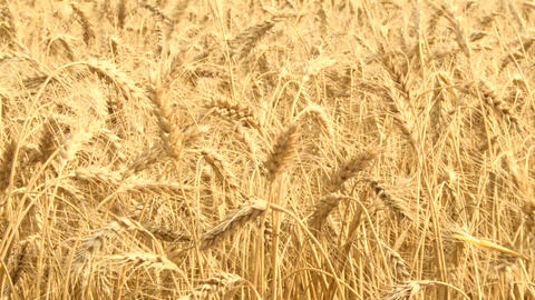 Ripe Wheat 02 Footage