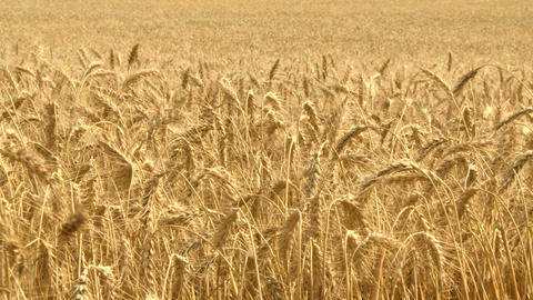 Ripe Wheat 04 Footage