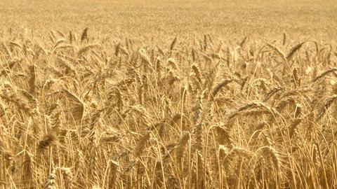 Ripe Wheat 04 Footage