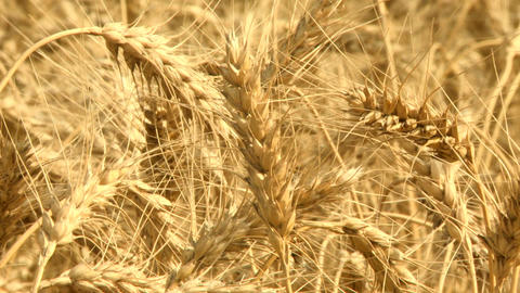 Ripe Wheat 05 Footage