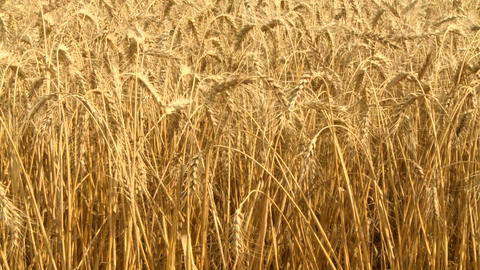 Ripe Wheat 03 Footage