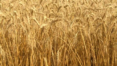 Ripe Wheat 03 Footage