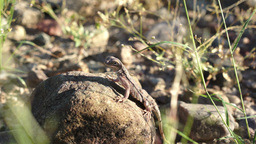 Lizard On Rock Handheld Footage