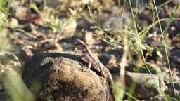 Lizard On Rock Handheld stock footage
