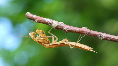 mantis is sitting on branch of tree - macro shot Footage