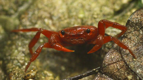 Red land crab (Phricotelphusa limula or waterfall  Footage