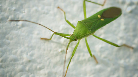 Green shield bug on a light background. Thailand Footage