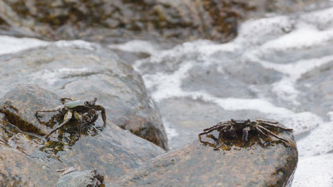 Crabs feed on the rocks in the surf. Thailand. Phu Footage