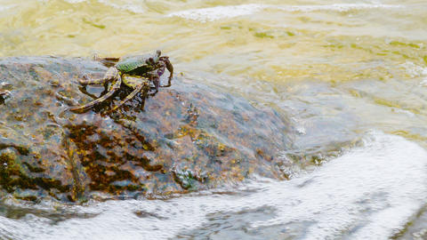Crab eats algae from rocks in the sea waves Footage