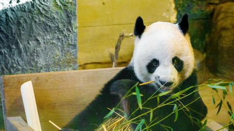 Panda - bamboo bear eating bamboo Live Action
