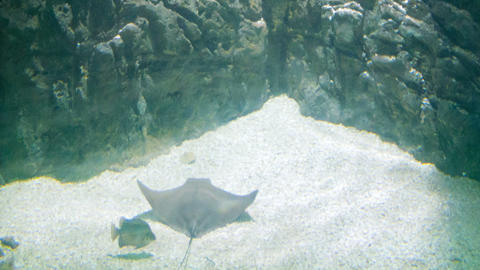 Stingrays underwater on the bottom Live Action