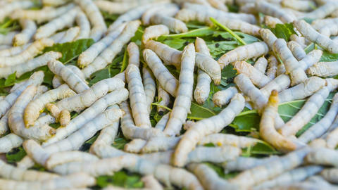 Live silkworm caterpillars on a pile of leaves Footage