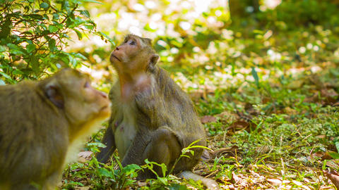 Wild monkeys - macaque in the forests of Cambodia Footage
