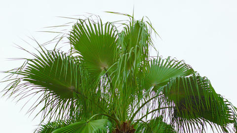 Palm fronds sway the wind against the sky Footage